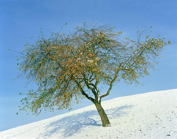 Apple tree in winter --- Image by © Gerolf Kalt/Corbis
