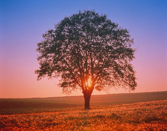 Oak tree in meadow at sunset --- Image by © Gerolf Kalt/Corbis