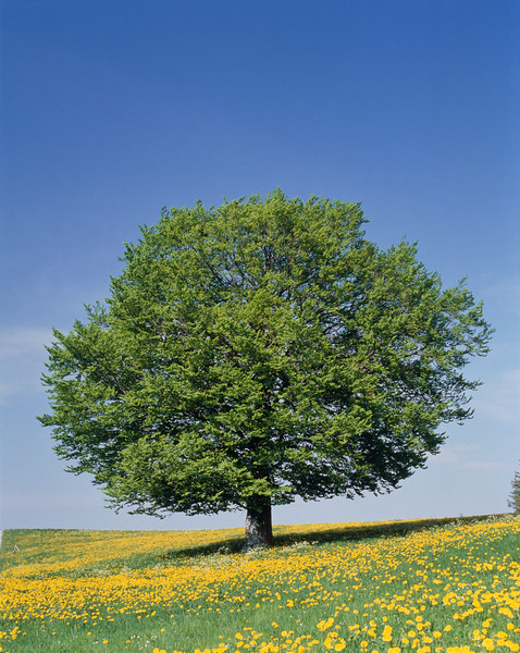 Beech tree and meadow in spring --- Image by © Gerolf Kalt/Corbis