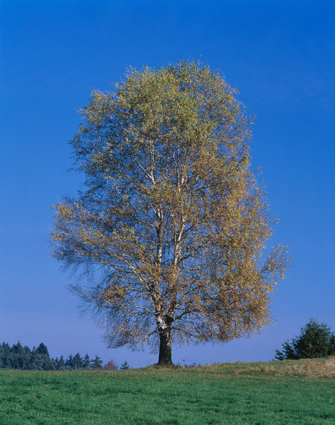 A single birch tree seen through the four seasons. The four photos in the series are 42-17364558, 42-17364248, 42-15310932, 42-15306284. --- Image by © Gerolf Kalt/Corbis
