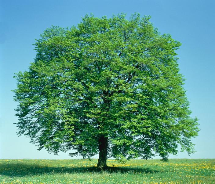 Beech tree, spring --- Image by © Gerolf Kalt/Corbis