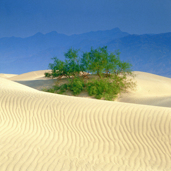 Death Valley National Park, USA --- Trees and sand dunes with mountains behind --- Image by © Gerolf Kalt/Corbis