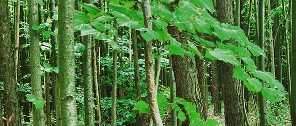 Waldpanoramen Buchenwald