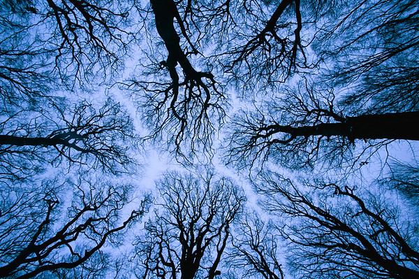 Looking up into leafless canopy in the winter showing crown shyness, blue hour, Jasmund National Park, Ruegen, Germany