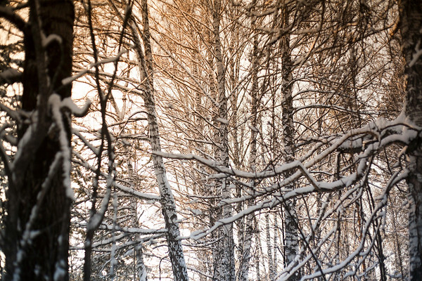 31 Dec 2014 --- Close up of snowy tree branches in forest --- Image by © Aliyev Alexei Sergeevich/Blend Images/Corbis
