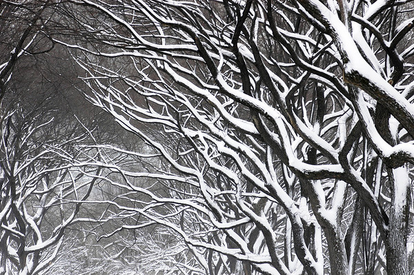 Blizzard in Central Park, Manhattan, New York, United States.© KIKE CALVO.( season, weather, winter, snow, snowing, ice, freeze, frozen, white, wind, gust, danger, warning cold, cool,icy, outdoor, tree, branch, log, nature, pattern, size, form,