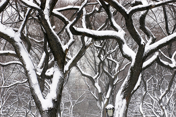 11 Feb 2006, Manhattan, New York City, New York State, USA --- Snow laden trees in Central Park. --- Image by © Kike Calvo/National Geographic Creative/Corbis