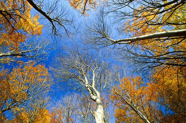 European Beech (Fagus sylvatica) trees from below, Jasmund National Park, Ruegen, Germany