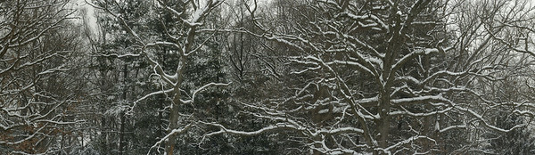 Gaithersburg, Maryland, USA --- Snow covered giant oak trees in winter --- Image by © 167/Greg Dale/Ocean/Corbis