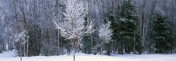 08 Jul 1997, Anchorage, Alaska, USA --- Frost Covered Trees Winter Anchorage Hillside Sc Ak --- Image by © Chris Arend/AlaskaStock/Corbis