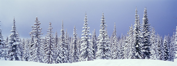 panoramic of winter subalpine forest of subalpine fir Abies lasiocarpa and Englemann spruce Picea englemannii, Silver Star Provincial Park, British Columbia, Canada