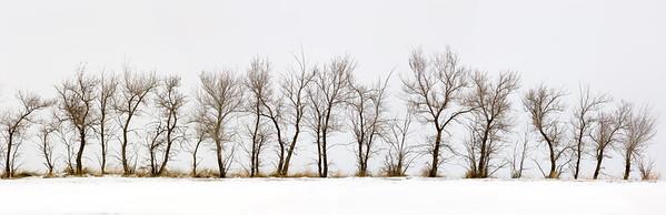 Line of bare trees in winter, saskatchewan, canada
