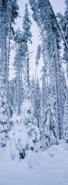 lodpole pine and subalpine fir forest after snowstorm, McDonald Pass, Little Fort, British Columbia