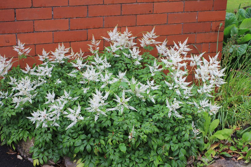 Astilbes, growing next to greenhouse, Bible College of Wales, Swansea