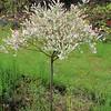 'Hakuro Nishiki' Dappled Willow (Salix integra), Italian Garden, Bible College of Wales, Swansea