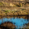 Kenfig and a Duck Couple