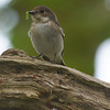 Pied flycatcher female