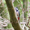 Great spotted woodpecker at Ynys hir