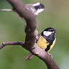 Great tit with coal tit in foreground