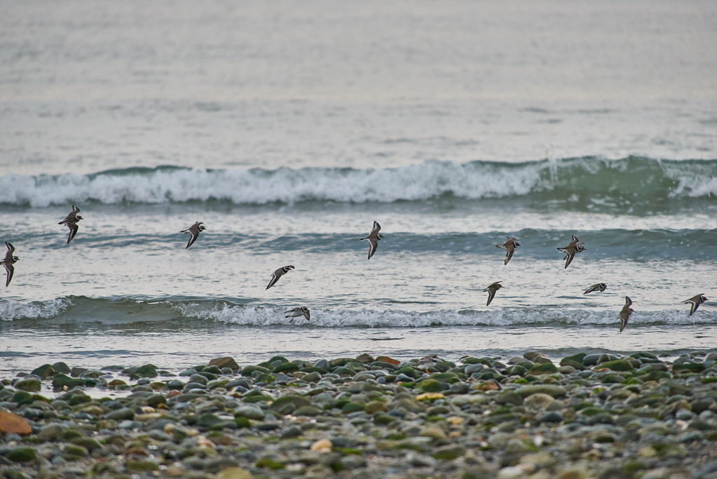 Common ringed plover and dunlin in flight