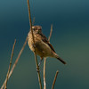 Common stonechat, juvenile