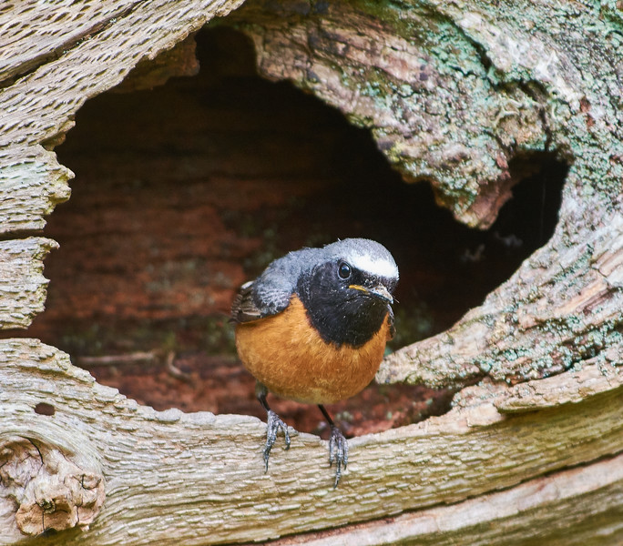 Male redstart at entrance to nest hole