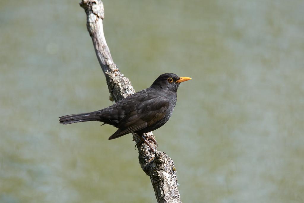 Male Eurasian blackbird, before bathtime