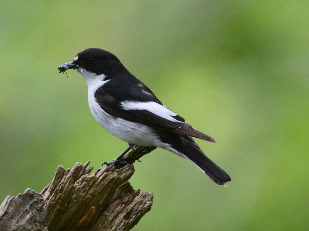 Pied flycatcher male with food for chicks
