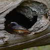 Redstart male taking food into nest inside dead log