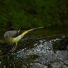 Grey wagtail male