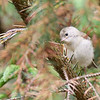 Fledgling goldcrest