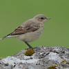 Juvenile northern wheatear