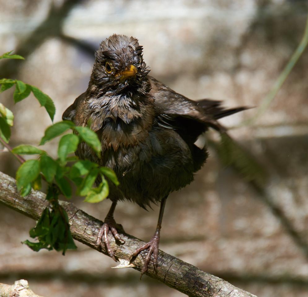 Male Eurasian blackbird, after a bath