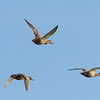 Female mallards in flight