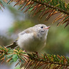 Regulus regulus<br /> Family found at Bwlch Nant yr Arian, Ceredigion<br /> Goldcrests are the smallest birds in Europe