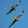Red kites flying in formation