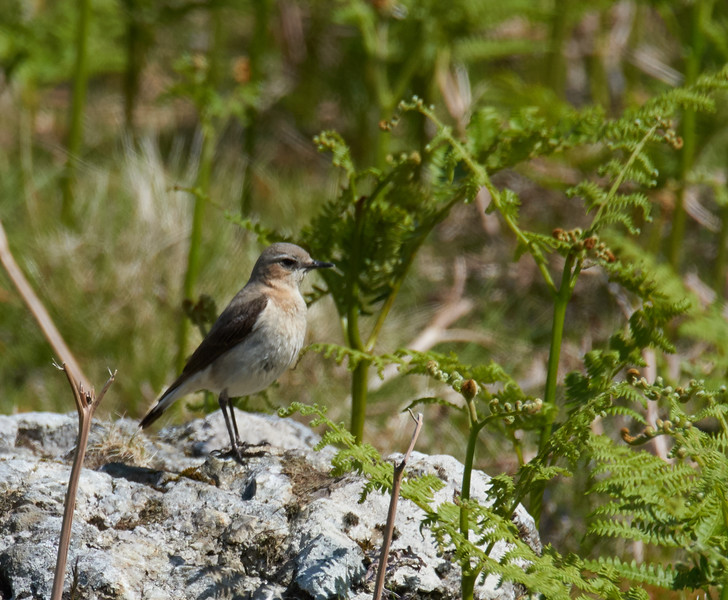 Female northern wheatear