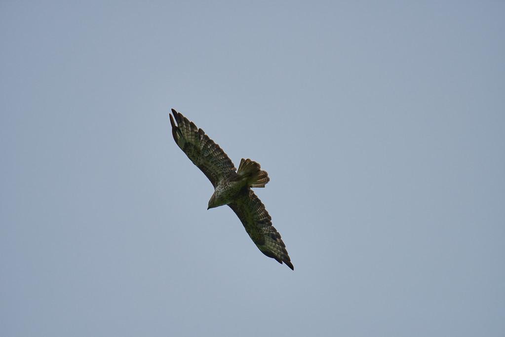 Common buzzard in flight