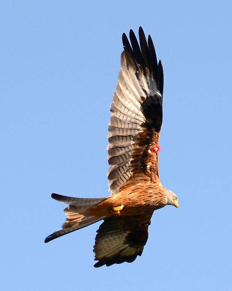 Red kite, colour tagged