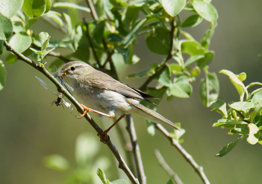 Willow warbler with damselfly