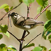 Willow warbler with two damselflies