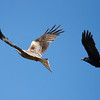 Red kite with carrion crow in pursuit