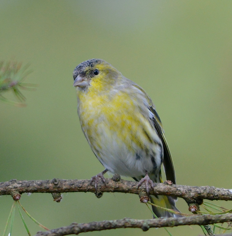 Female Eurasian siskin