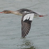 Female red-breasted merganser in flight