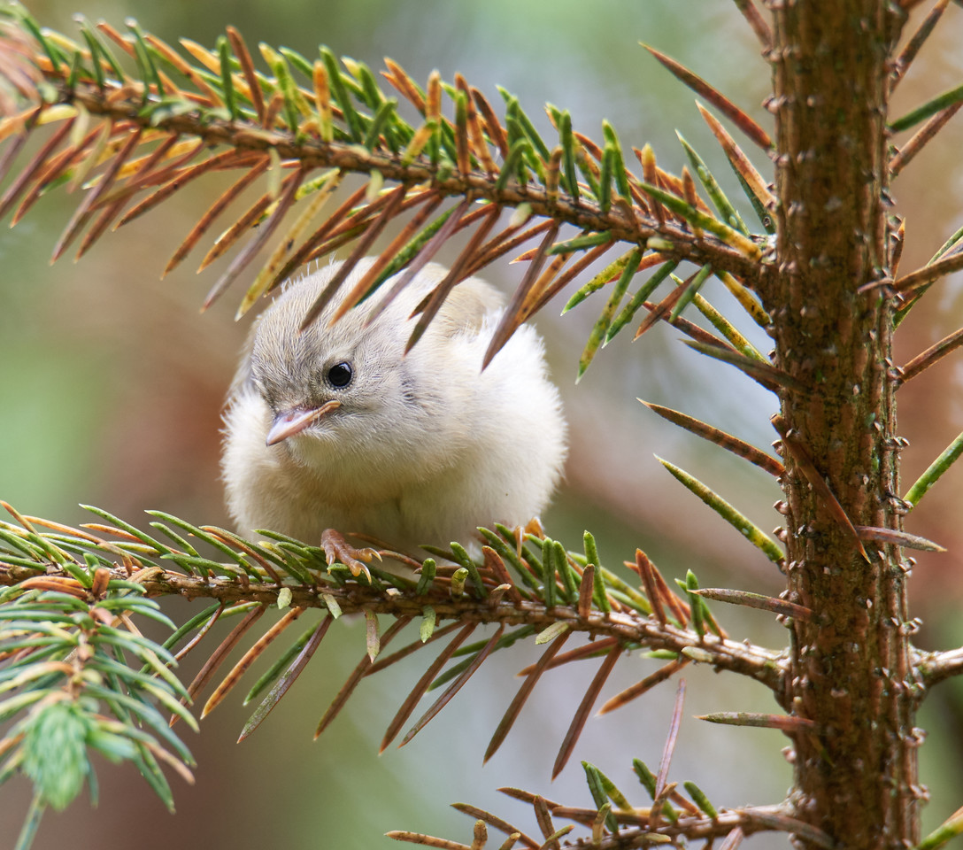 Fledgling goldcrest - tiny and very cute!