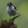 Pied flycatcher male taking food to chicks
