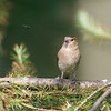 Chaffinch, female