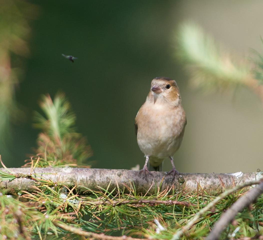 Chaffinch, female