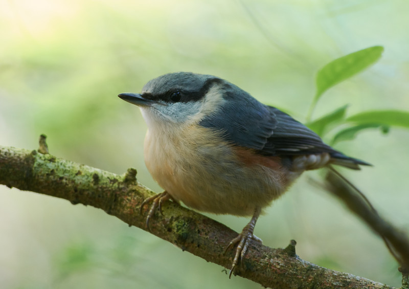 Eurasian nuthatch, immature