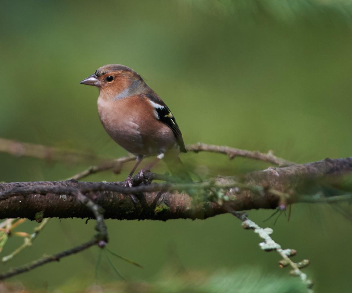 Chaffinch, male